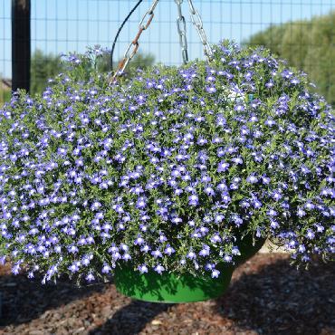 Lobelia Hot Bavaria - Plante annuelle