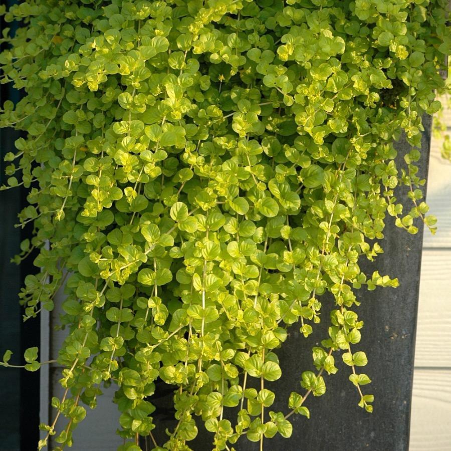 Lysimachia nummularia Goldilocks - Plante annuelle