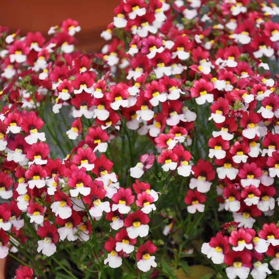 Nemesia Sunsatia Cherry On Ice - Plante annuelle