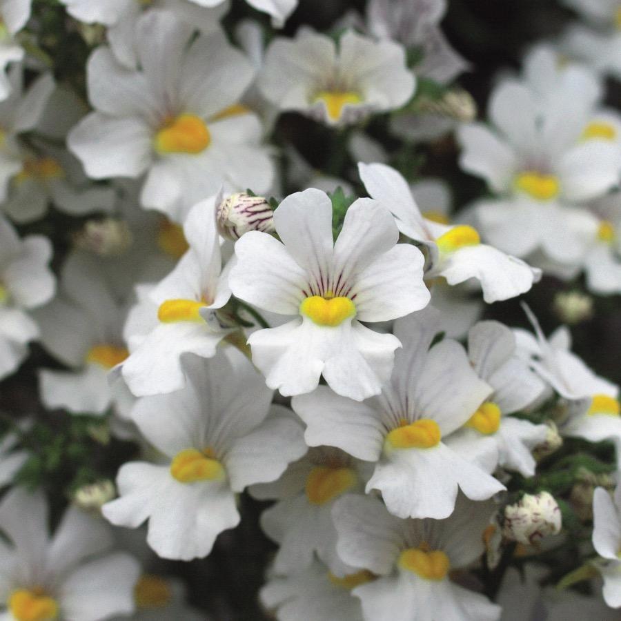 Nemesia Sunsatia Plus Anona - Plante annuelle