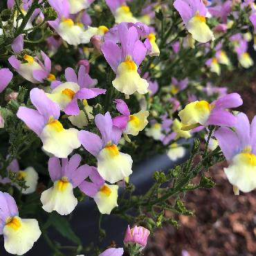 Nemesia Fairy Kisses Pink Lemonade - Plante annuelle
