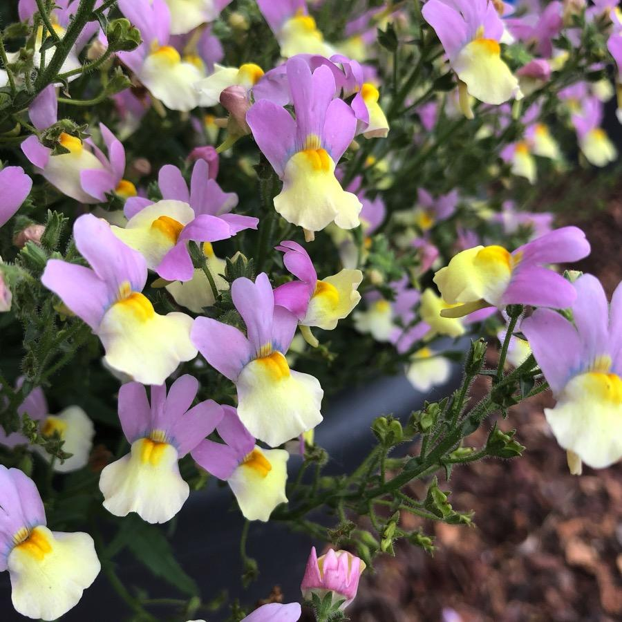 Nemesia Fairy Kisses Pink Lemonade - Plante annuelle