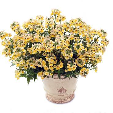 Nemesia Sunsatia Nesia Sunshine - Plante annuelle