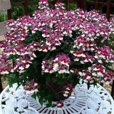 Nemesia Sunpeddle Painted Rose - Plante annuelle