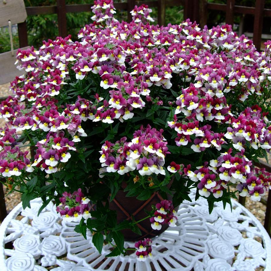 Nemesia Sunpeddle Painted Rose - Plante annuelle