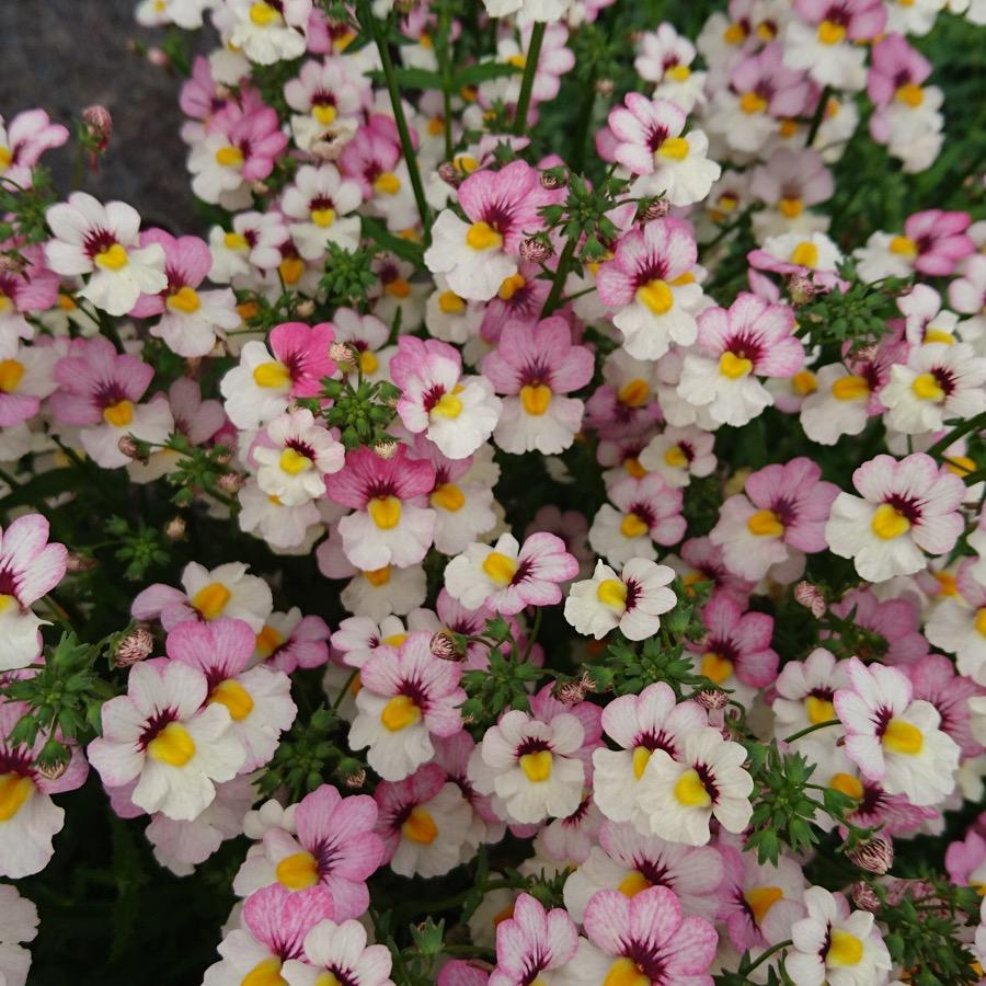 Nemesia Sunsatia Plus Lychee - Plante annuelle
