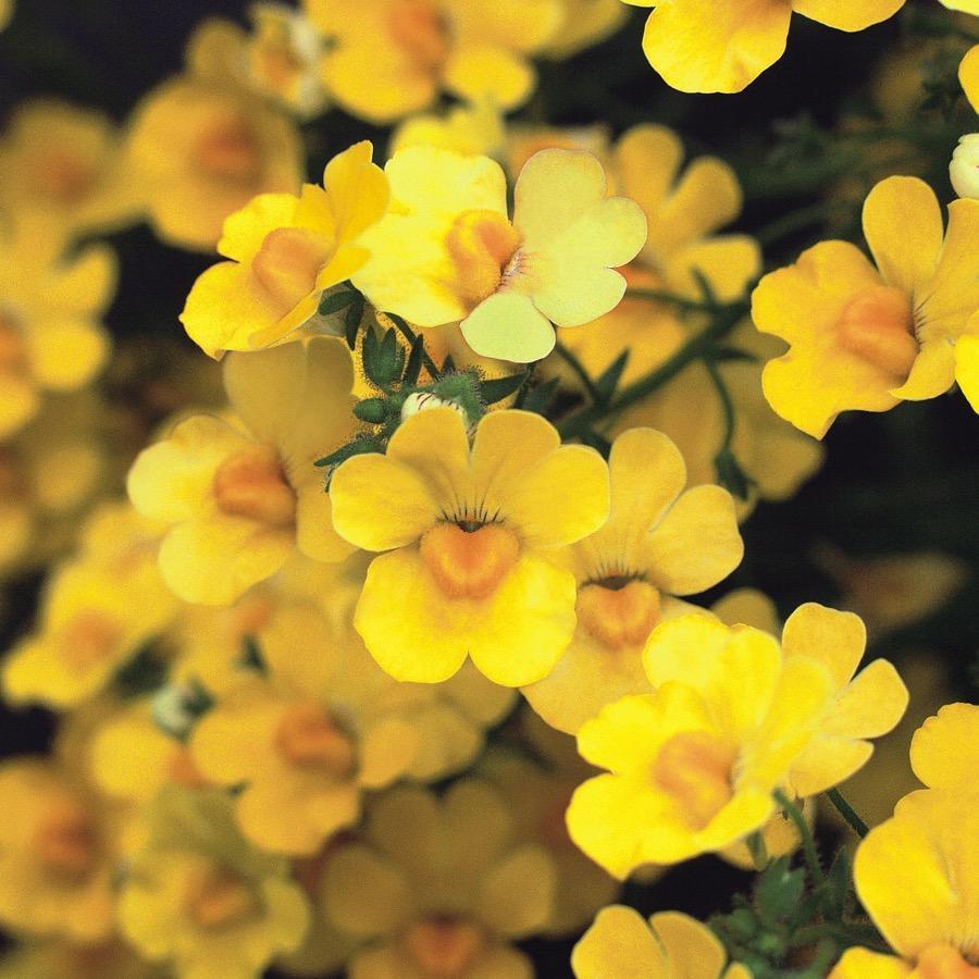 Nemesia Sunsatia Plus Pomelo - Plante annuelle