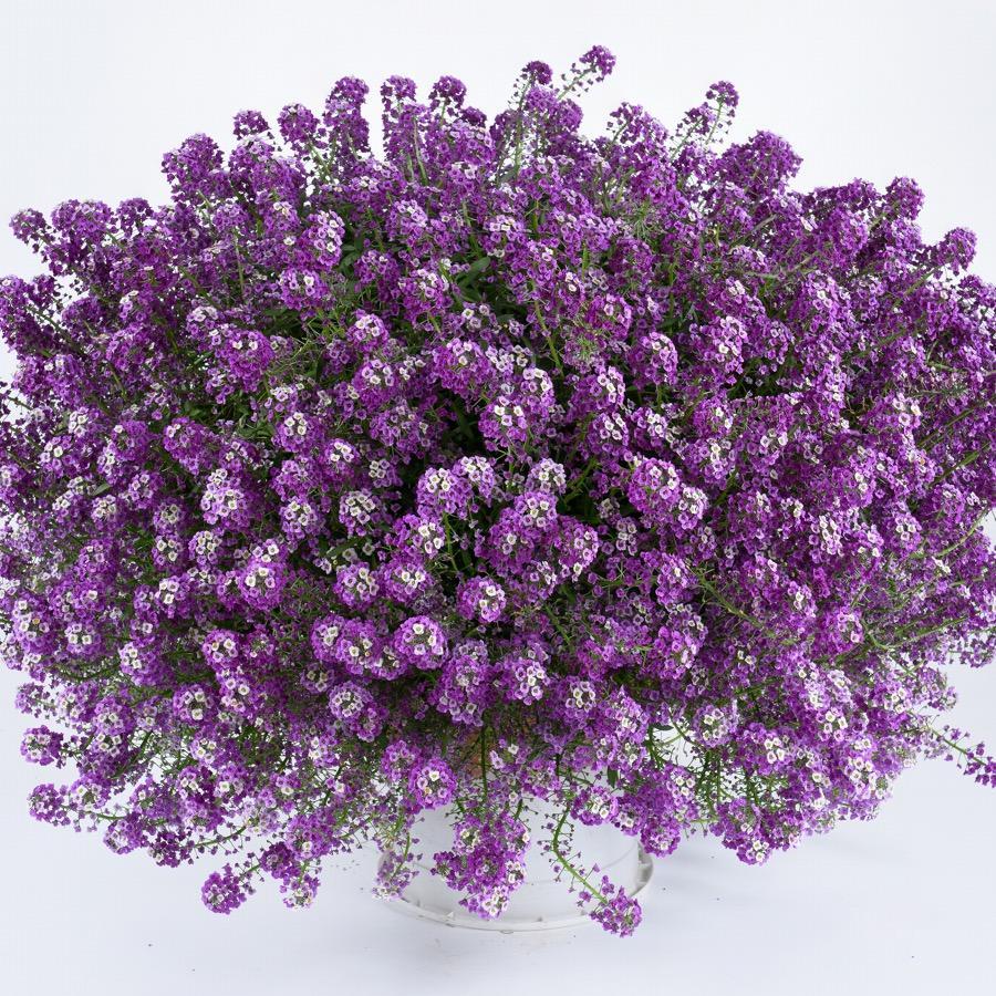 Lobularia Deep Lavender Stream - Plante annuelle