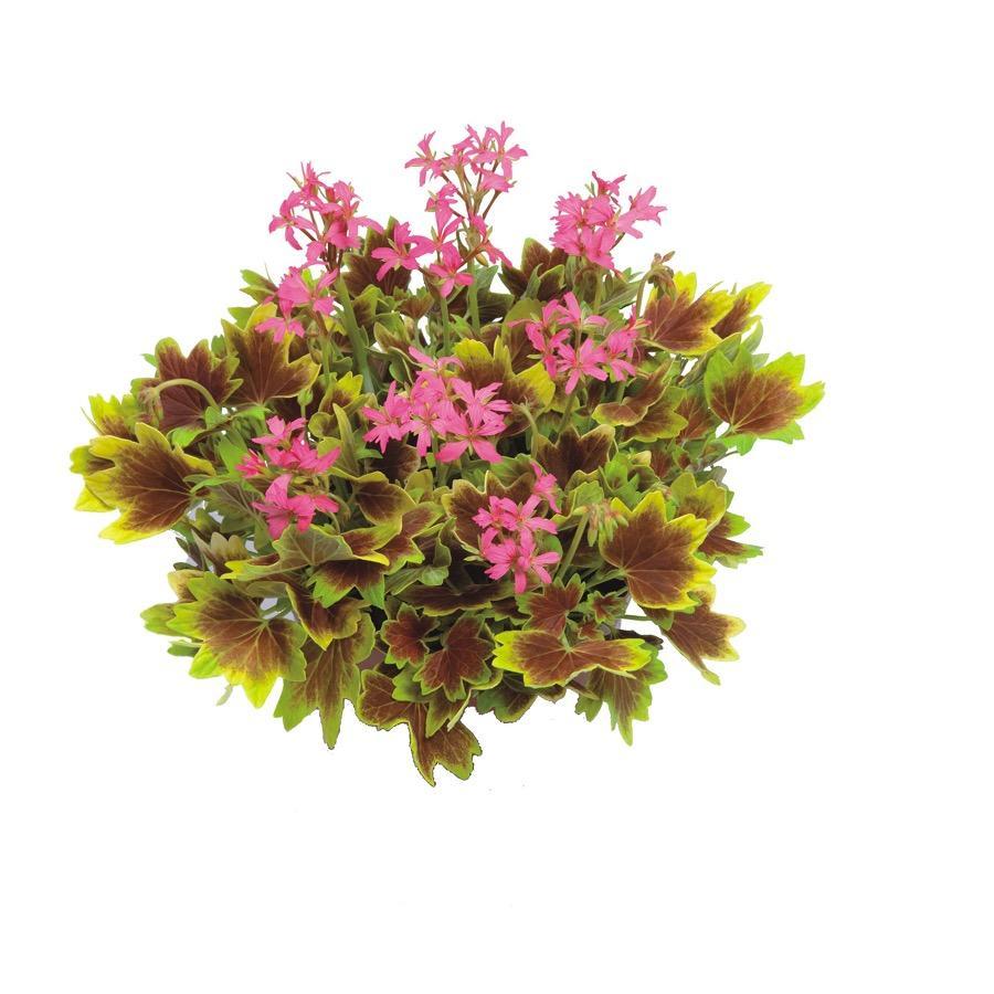 Geranium droit Lotusland - Plante annuelle