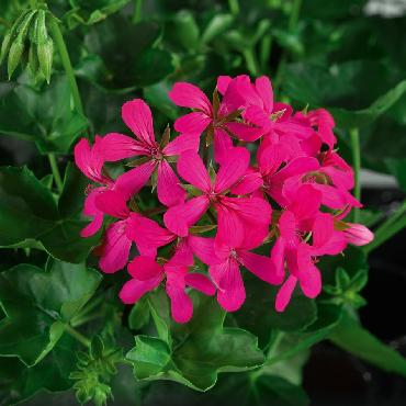 Geranium retombant Balcon Noa - Plante annuelle
