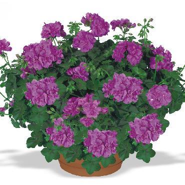 Geranium retombant Double Amelit Dark Lilac - Plante annuelle