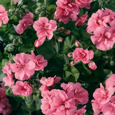 Geranium retombant Double Light Pink - Plante annuelle