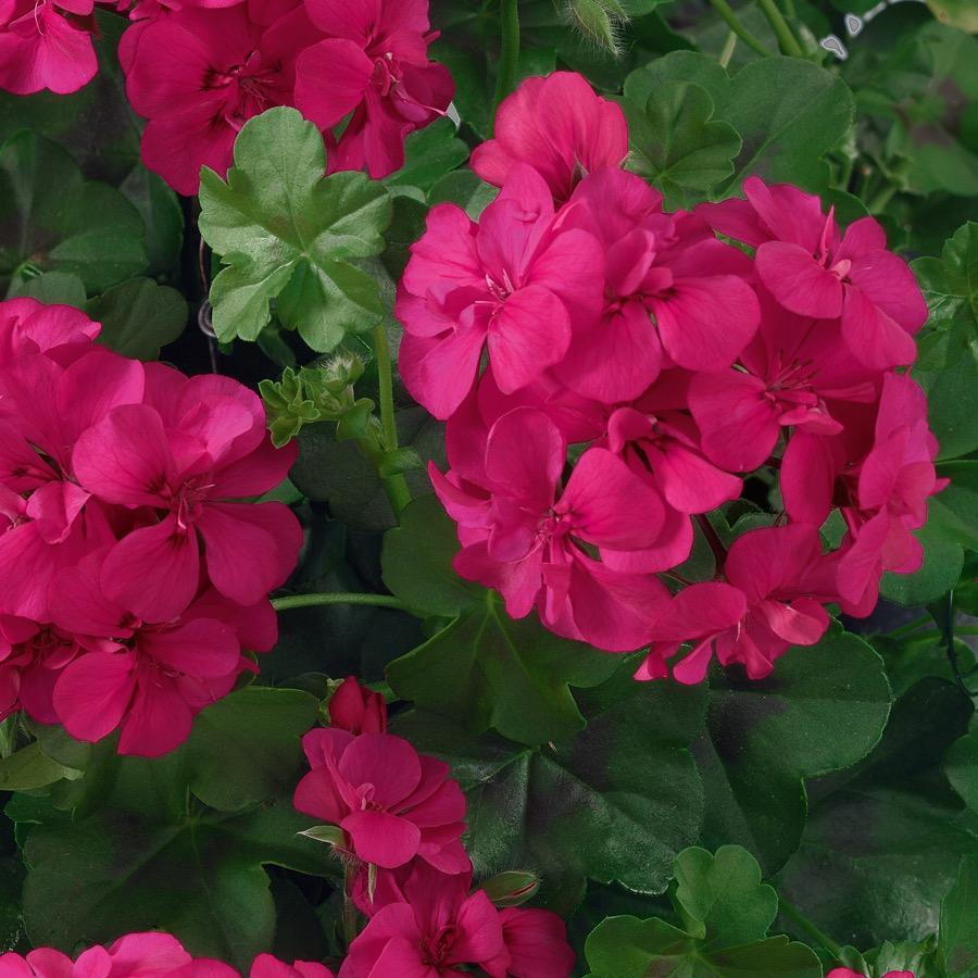 Geranium retombant Double Neon Pink - Plante annuelle