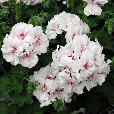 Geranium retombant Double Blanche Roche White - Plante annuelle