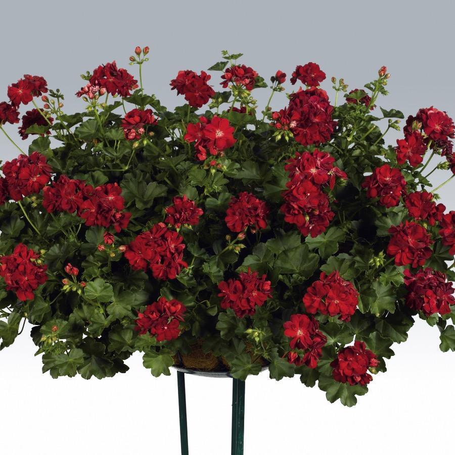 Geranium retombant Double Kate Dark Red - Plante annuelle