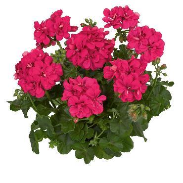 Geranium retombant Medio Hot Pink - Plante annuelle