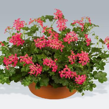 Geranium retombant Balcon Dark Pink - Plante annuelle