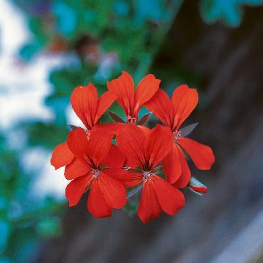 Geranium retombant Balcon Red - Plante annuelle