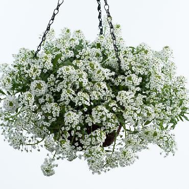Lobularia White Stream - Plante annuelle