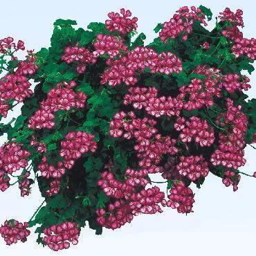 Geranium retombant Happy Face Mex - Plante annuelle