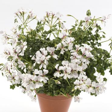 Geranium retombant Ville de Dresden Improved - Plante annuelle