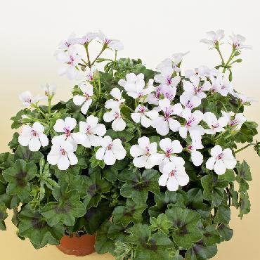 Geranium retombant Villetta White - Plante annuelle
