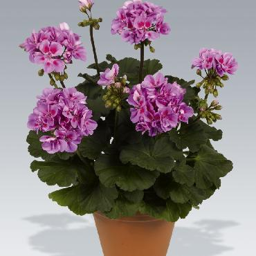 Geranium droit Dark Ameta Lavender Eye - Plante annuelle