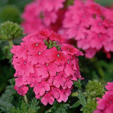 Verveine Vepita Hot Pink - Plante annuelle