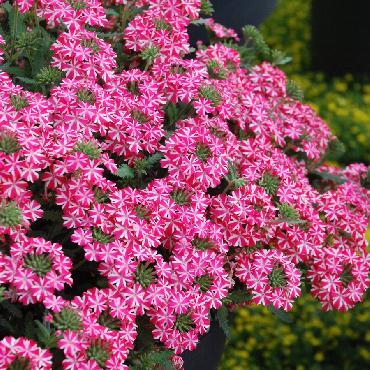 Verveine Superbena Coral Star - Plante annuelle