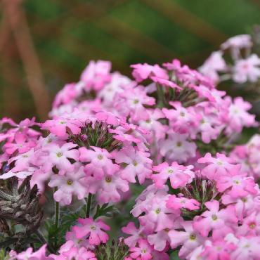 Verveine Vepita Frosted Pink - Plante annuelle