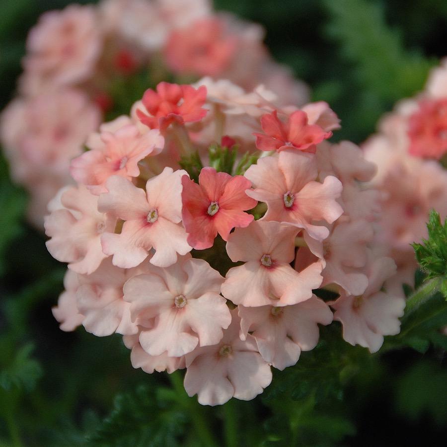 Verveine Vepita Peach - Plante annuelle