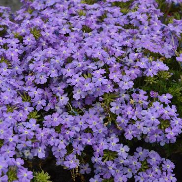 Verveine Vepita Sky Blue - Plante annuelle