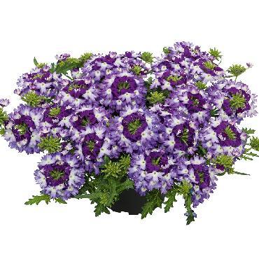 Verveine Vepita Violet Kiss - Plante annuelle