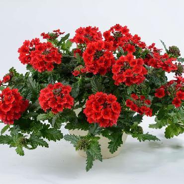 Verveine Virgo Red - Plante annuelle