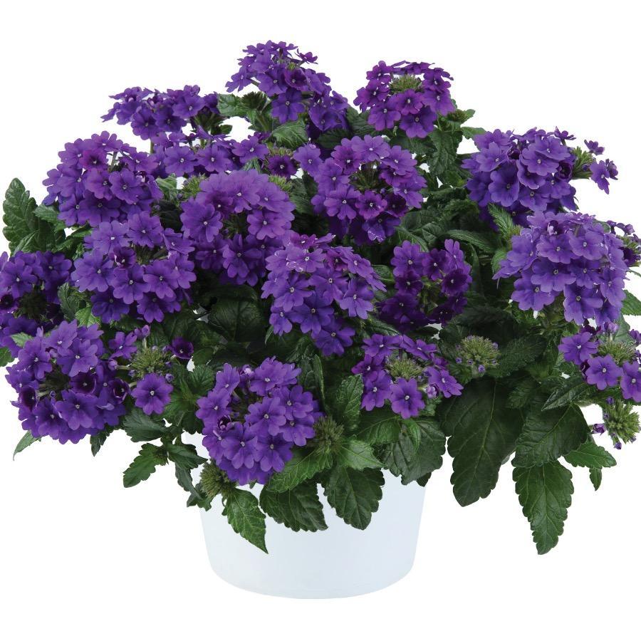 Verveine Virgo Up Purple - Plante annuelle