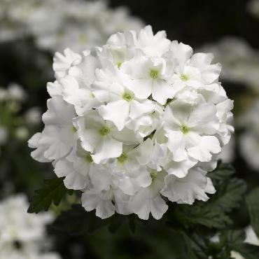 Verveine Virgo White - Plante annuelle