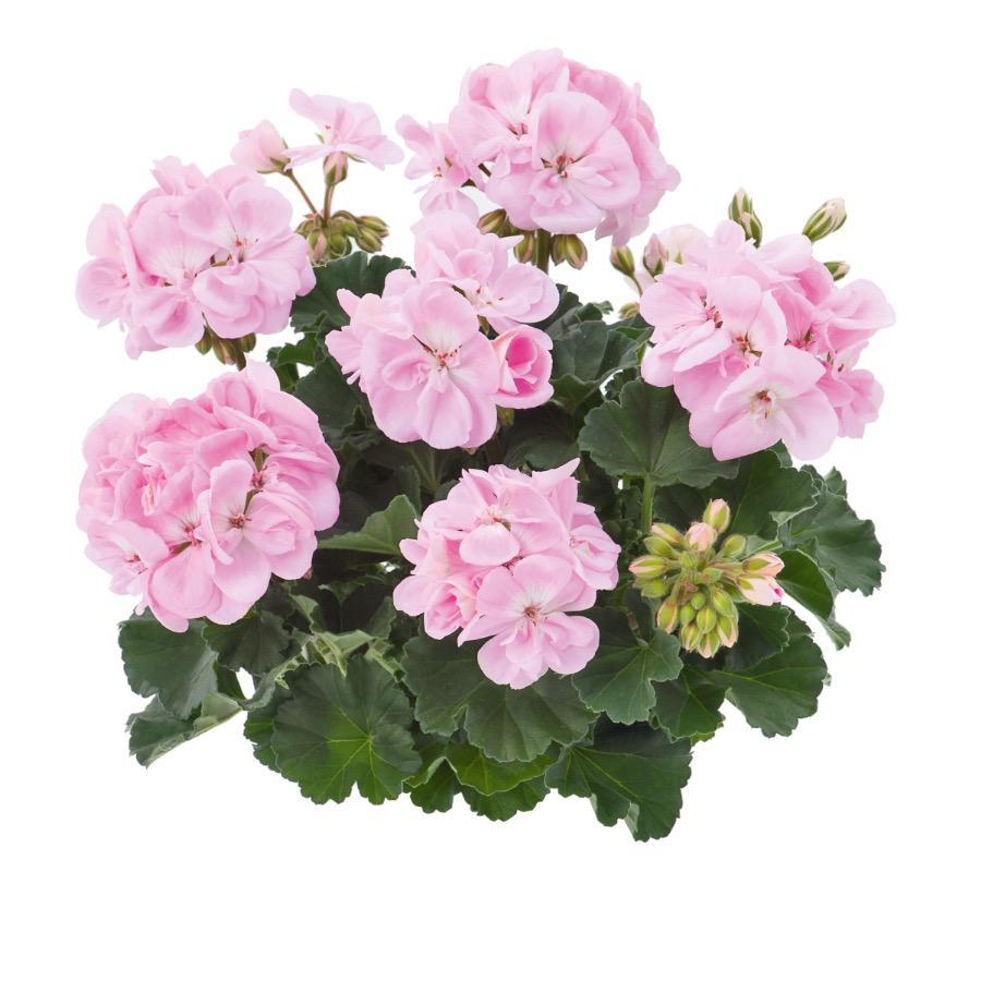 Geranium droit Dark Dolce Vita Light Pink - Plante annuelle