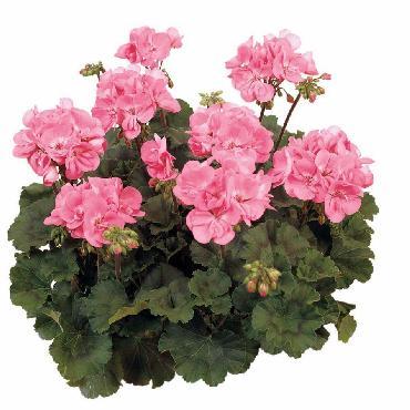 Geranium droit Dark Dolce Vita Pink - Plante annuelle