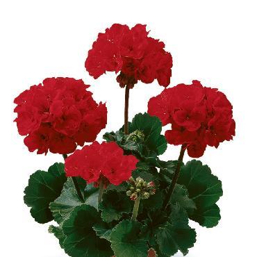 Geranium droit Dark Samelia Dark Red - Plante annuelle