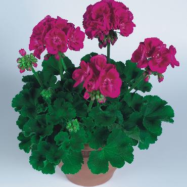 Geranium droit Flowerfairy Berry - Plante annuelle