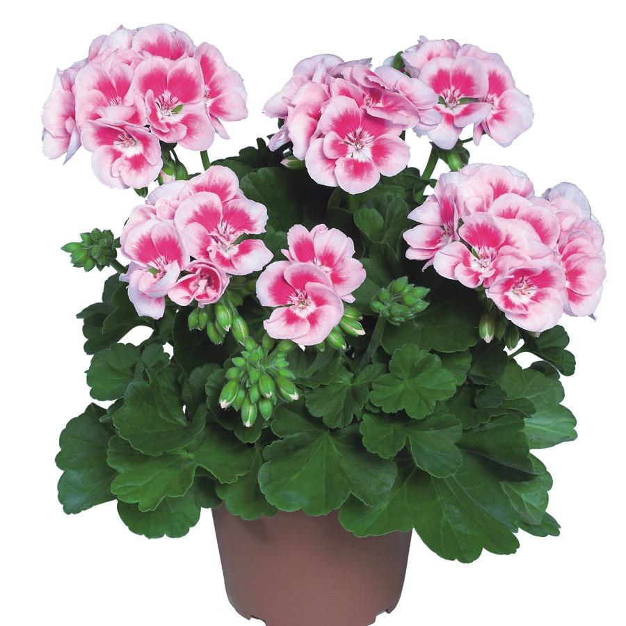Geranium droit Flowerfairy White Splash - Plante annuelle