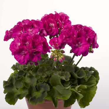 Geranium droit Alice Purple - Plante annuelle