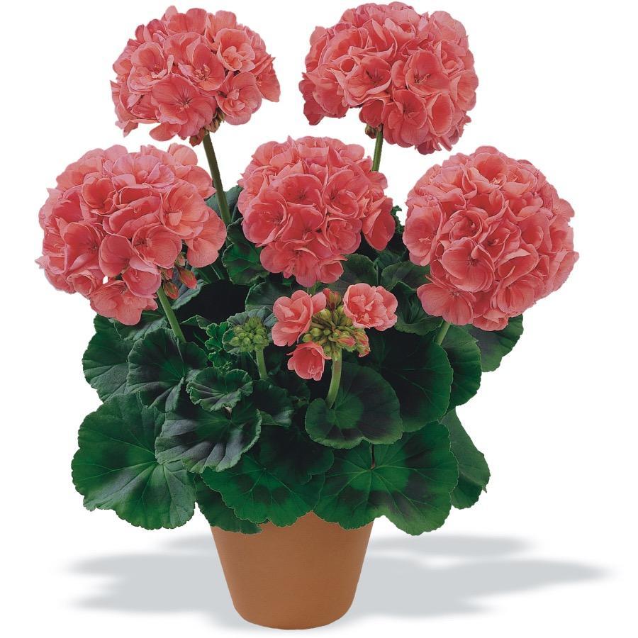 Geranium droit Bergpalais Salmon Pink - Plante annuelle