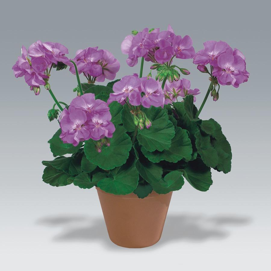 Geranium droit Blue Wonder - Plante annuelle