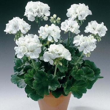 Geranium droit Glacis White - Plante annuelle
