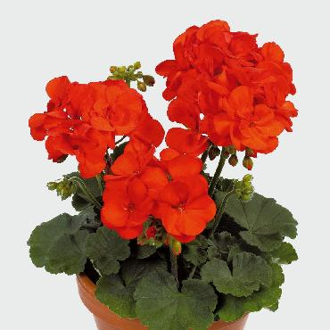 Geranium droit Shocking Orange - Plante annuelle