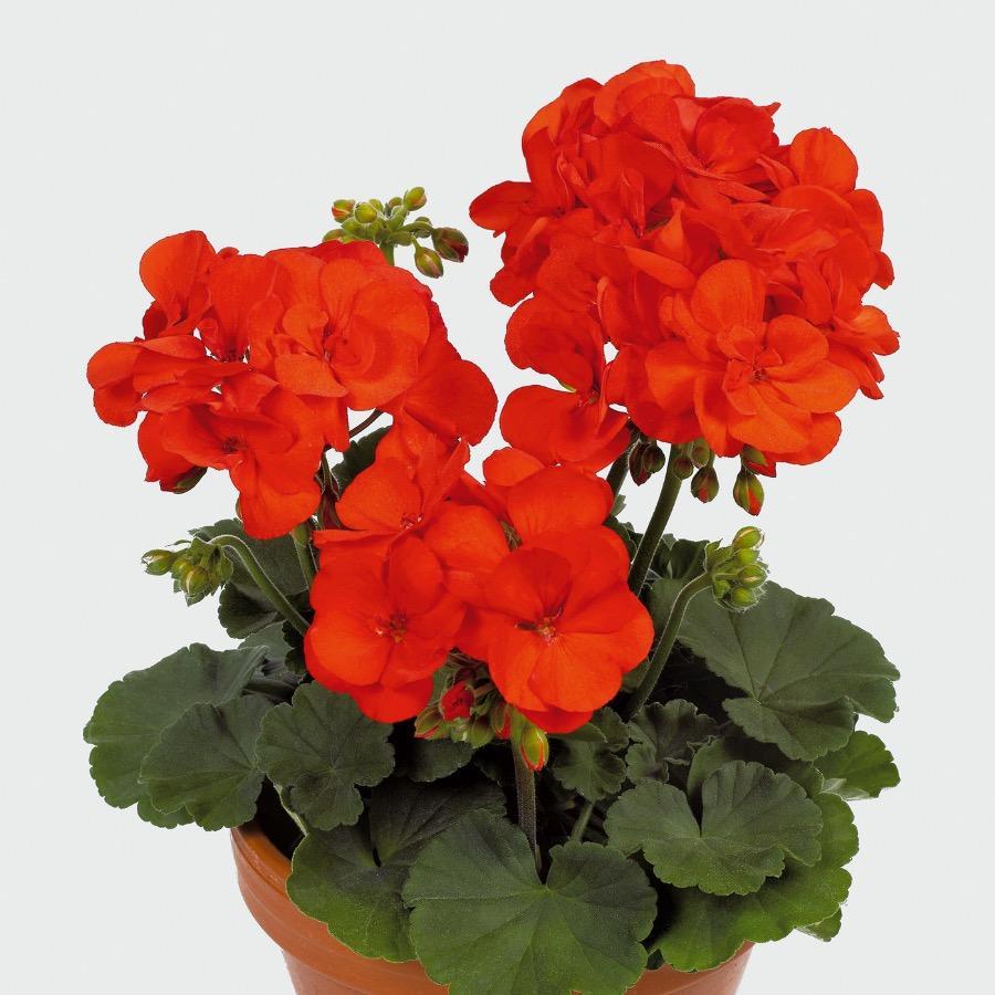 Geranium droit Shocking Orange - Plante annuelle