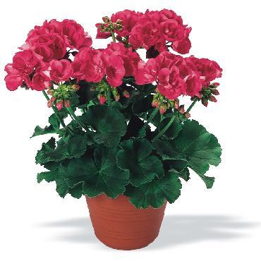 Geranium droit Shocking Pink - Plante annuelle