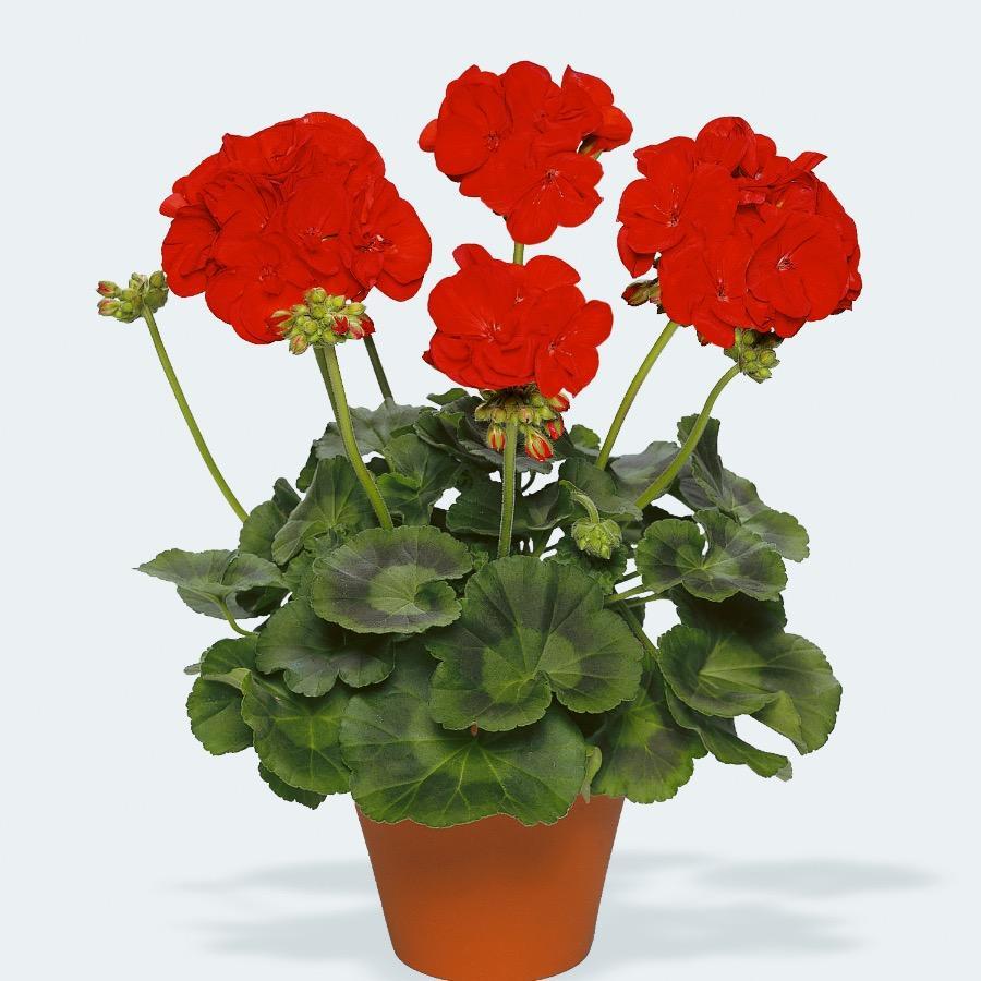 Geranium droit Victor Dark Red Improved - Plante annuelle