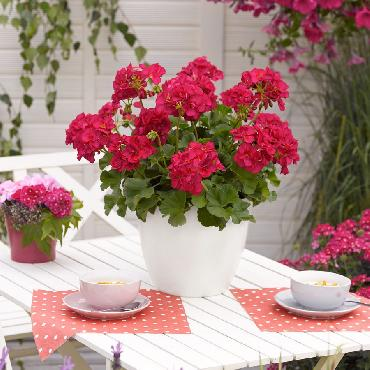 Geranium droit Smart Purple Red - Plante annuelle